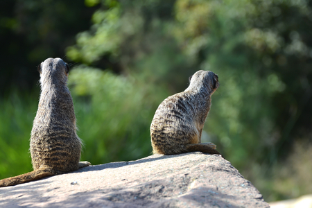 Meerkats sitting on a rock at the zoo
