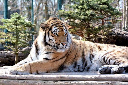 siberian tiger: relaxed Siberian tiger in a zoo Stock Photo