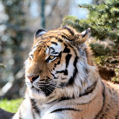 ussuri: relaxed Siberian tiger in a zoo Stock Photo