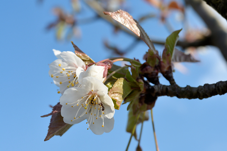waxes: Cherry blossom with ants in the spring