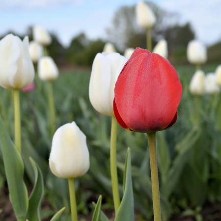 Tulips on a tulip field in the spring photo