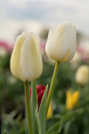 commercially: Tulips on a tulip field in the spring