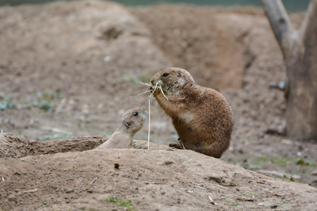 socially: prairie dogs at the entrance to its burrow