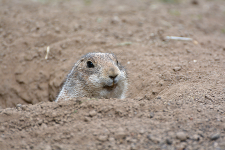 watchfulness: to alert prairie dog at the entrance to its burrow