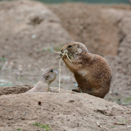 socially: Young prairie dog with his mother at the entrance to the cave
