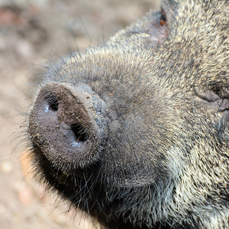 potbellied: Portrait of a pot-bellied pig on a farm
