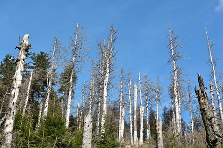 tree line: from bark beetle damaged trees in the Harz National Park