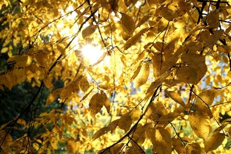 hornbeam: hornbeam with autumn colors in a park at sunset