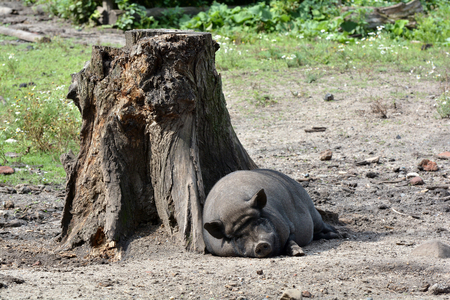 potbellied: Relaxed pig sleeping on a tree trunk