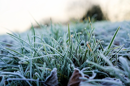 green been: Frozen grass on a meadow in winter