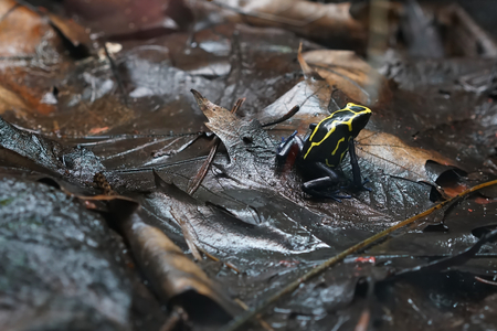 dart frog: Poison Dart Frog after rain on the forest floor Stock Photo