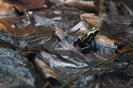 poison frog: Veneno de rana después de la lluvia sobre el suelo del bosque