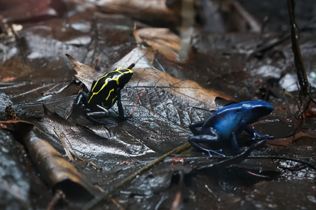poison frog: Poison Dart Frog after rain on the forest floor Stock Photo