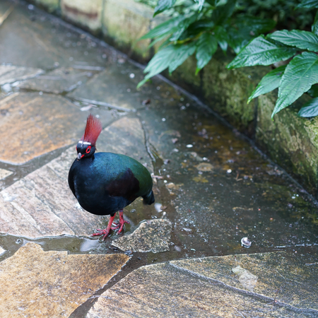 kuropatwa: Crested Partridge on a footpath in Thailand