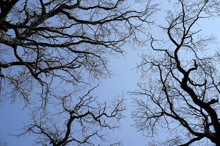 treetops: treetops of oaks without leaves in winter