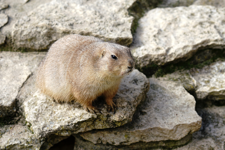 prairie dog: watchful prairie dog on a rock