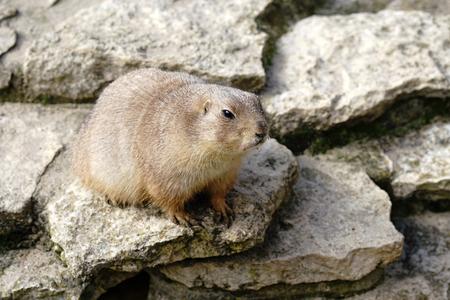 watchful prairie dog on a rock