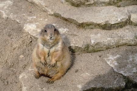 dog rock: watchful prairie dog on a rock