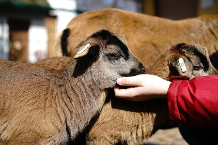confiding: young Cameroon sheep in a petting zoo