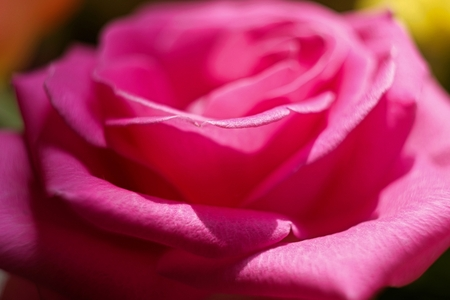 flourished: petals of a blooming rose in a garden