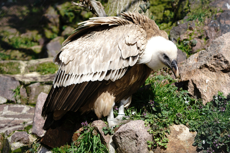 gyps: griffon vulture in a zoo