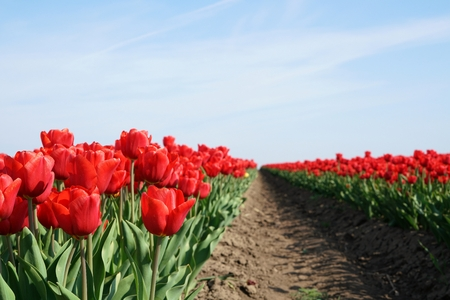 flourished: red tulips in a field in spring Stock Photo