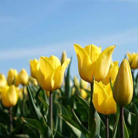 commercially: yellow tulips in a field in spring