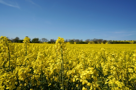 biodiesel plant: blossoming rapeseed field in spring Stock Photo