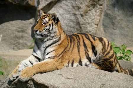 a tiger relaxing on a rock