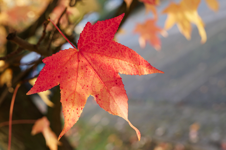 tendency: Maple leaf with autumn coloring in a park Stock Photo