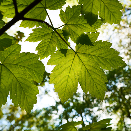 Leaves of a maple tree in spring Stock Photo