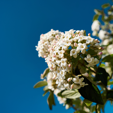 White flowers of a Viburnum burkwoodii in spring