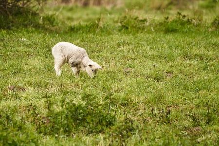 Jonge schaap op een weide in de zomer