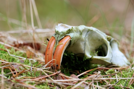 Skull of a nutria in a forest in Germany Фото со стока
