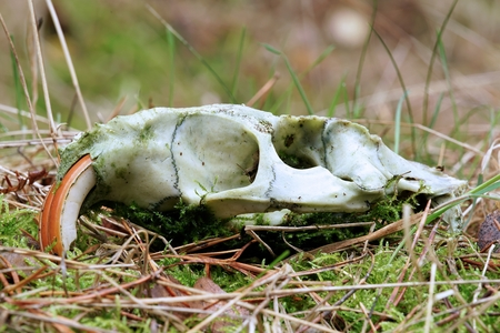 Skull of a nutria in a forest in Germany Stock Photo