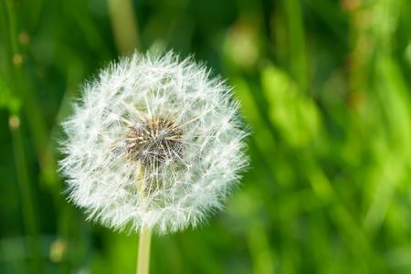 Dandelion on a meadow in summer