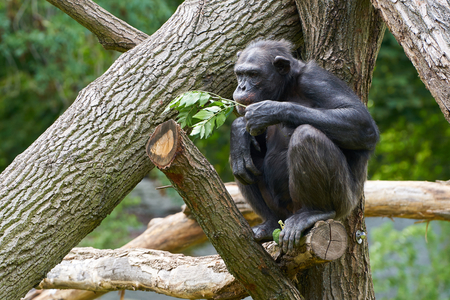 Chimpanzee sitting on a tree trunk and eating