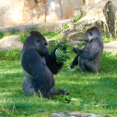 Gorilla during feeding in a zoo Фото со стока