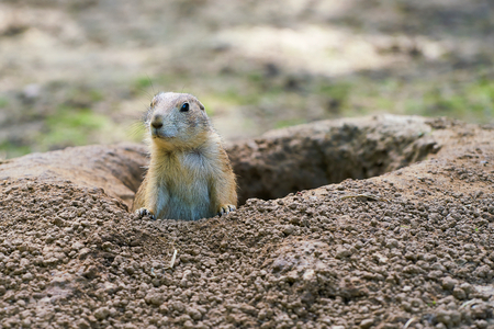 Watchful prairie dog in front of his earthhole Stock Photo