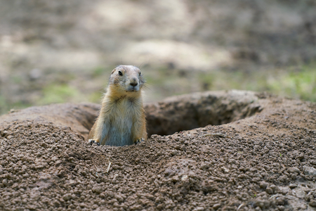 Watchful prairie dog in front of his burrow Фото со стока - 85763803