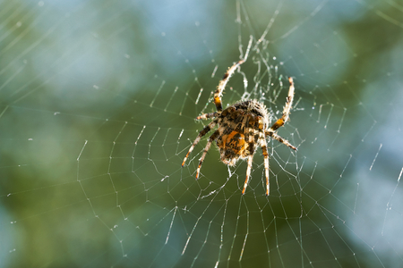 Cross spider in his web waiting for prey Imagens
