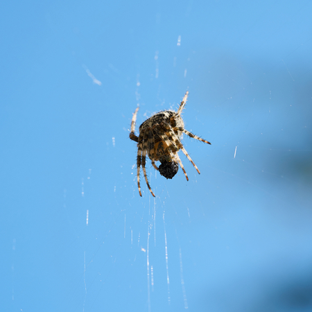 Cross spider while eating their captured prey