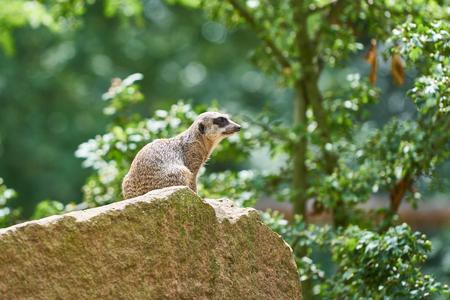 a meerkat sitting on a rock Фото со стока - 89464022