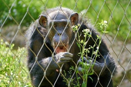 a chimpanzee behind a fence