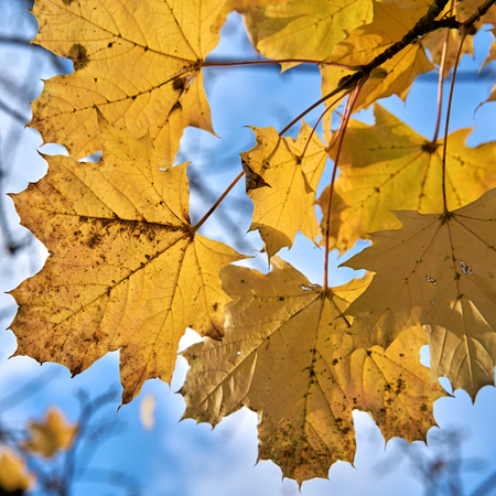 Leaves of a tree with yellow autumn coloration in a forest