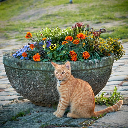Cat on a footpath in front of a flowerpot Фото со стока