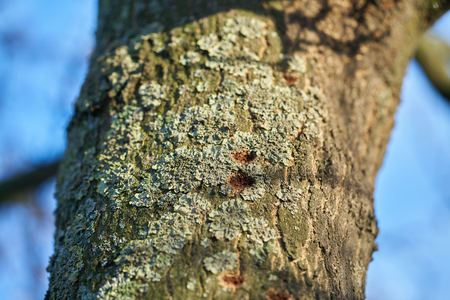 A tree infested by the Asian longhorn beetle in Magdeburg in Germany. The beetle is spreading since 2000 in Europe, and damaged deciduous trees.