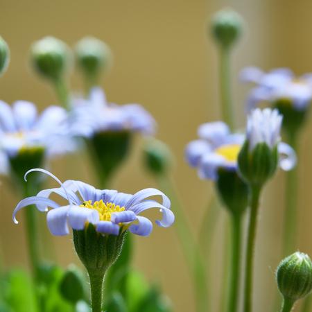 Blue daisies in summer in a garden