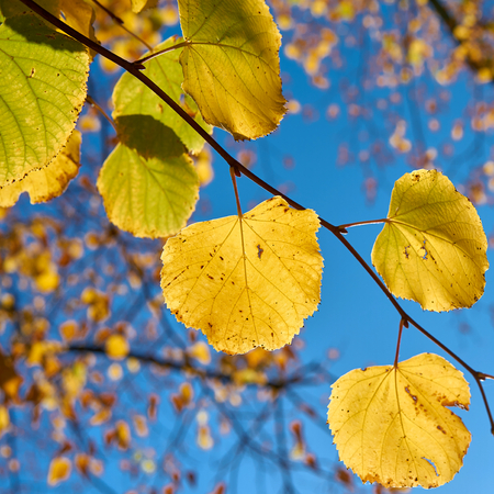 Leaves of a linden tree with autumn color in October in autumn