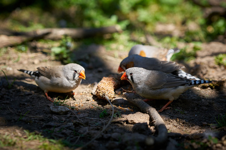 Zebra finches while eating on the ground